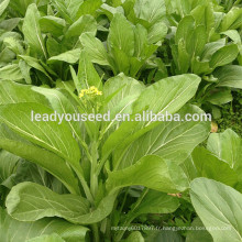 MPK21 Caixin feuille vert foncé chinois pakchoi graines société