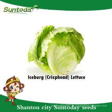 Suntoday légumes F1 organique Lactuca sativa l'eau plantant des graines de laitue iceberg longifolia (32002-3)