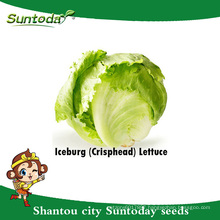 Suntoday vegetable F1 Organic Lactuca sativa water plantting longifolia iceberg lettuce seeds(32002-3)