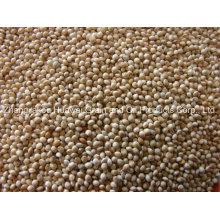 White Broomcorn Millet