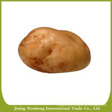 Large fresh holland potato