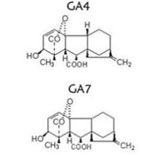 Ga 4 + 7 Ácido giberélico