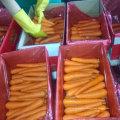 Новый урожай хорошего качества свежей моркови