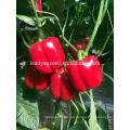 SP26 Meimei F1 híbrido meados de maturidade sementes de pimentão vermelho pimenta sementes