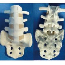 Модель анатомии скелета позвонков с сакратом для демонстрации