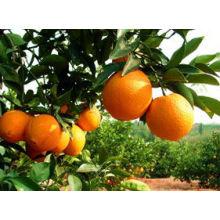 Exportateur d'orange fraîche en Chine