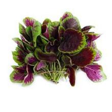 Extracto de Amaranthus Mangostanus / polvo de Extracto de Espinaca Roja