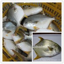Landwirtschaftliche goldene prefret / goldene fische