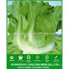 JLT08 Pangwa premières graines de laitue verte chinoise mature en ventes