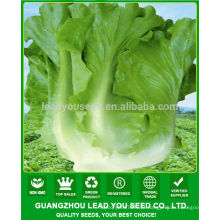 Sementes verdes maduras chinesas adiantadas da alface de JLT08 Pangwa para vendas