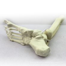 TF06 (12317) Synthetic Bones - Skeleton of Lower Limb (Right or Left),SWABone Models / Tibia + Fibula + Foot Skeleton
