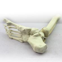TF06 (12317) Ossos Sintéticos - Esqueleto do Membro Inferior (Direito ou Esquerdo), SWABone Models / Tibia + Fibula + Foot Skeleton