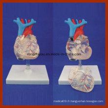 Taille naturelle transparente Modèle de coeur pour adultes