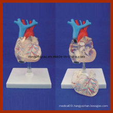 Transparent Natural Size Adult Heart Model