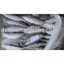 Trachurus trachurus (horse mackerel )