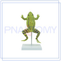 PNT-0820 enlarged realistic frog model