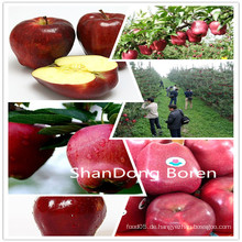 2015 Frische Huaniu Apfel mit besserer Qualität in China