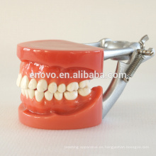 El fabricante vende directamente el modelo dental de práctica con dientes de tornillo fijos de cera 13007