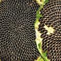 Certifed sementes de girassol processadas com HACCP