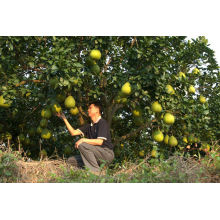 2013 new crop fresh pomelo fruit