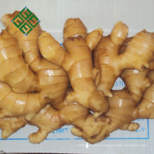 chinese ginger yellow 250g fresh ginger specification