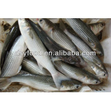 Frozen Grey Mullet Fish