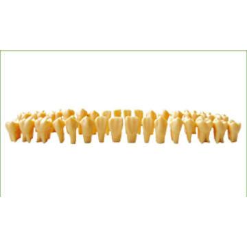 TM-D9 Twice Permanent Teeth Model