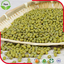 3.2mm Brotes verdes de Mung