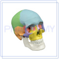 PNT-0153 life size medical anatomical colored skull model