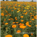 High quality calendula officinalis seeds for planting