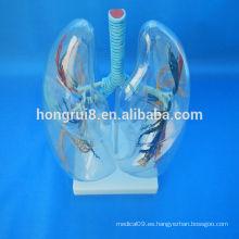 VENTAS CALIENTES Modelo del segmento pulmonar transparente pulmón transparente humano anatómico