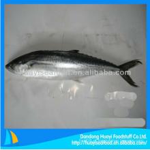 Congelado barato japonês espanhol mackerel à venda para superior fornecedor