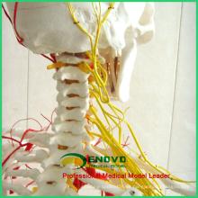 SKELETON02 (12362) Medical Science Human Full Size 170 / 180cm Neurovascular Skeleton Anatomical Models