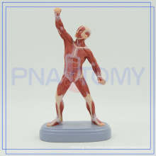 PNT-0343 21CM height human muscle figure model