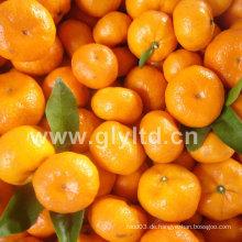 Frische Chinesen in guter Qualität Baby Mandarin