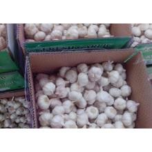 Caja fresca de ajo morado