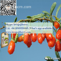 Hot selling GOJI wolfberry SUPPLY Kualitas Premium
