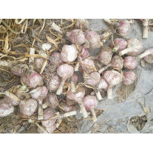 2019 New Crop Fresh Garlic Good Quality