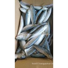 New Landing 100-200g Horse Mackerel Fish