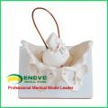 PELVIS08 (12345) Geburtsvorbereitungs-Becken der medizinischen Wissenschaft, weibliches Becken-anatomisches Modell für Geburts-Studie