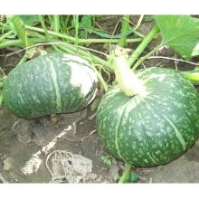 HPU09 Soni ronde vert foncé F1 graines de citrouille hybrides prix