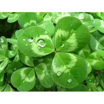 white clover seeds/Trifolium repens L seeds