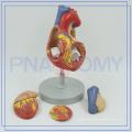 PNT-0405 heart model for human