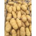 Nouvelle pomme de terre de Shandong