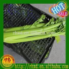 Precio de apio fresco verde chino