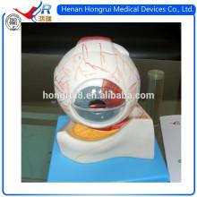 Modelo de Ojo Anatómico de Enseñanza de la ISO
