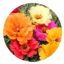 Top quality Bulk Garden flower Moss Rose Seeds