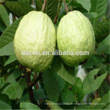 Guaven getrocknete Blätter