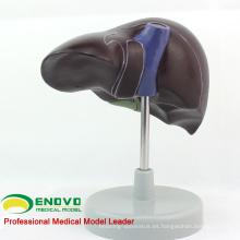 VISCERA08 (12545) Modelo anatómico humano de hígado de tamaño natural humano