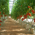 Dutch Buckets Irrigation System for  GrowingTomatoes